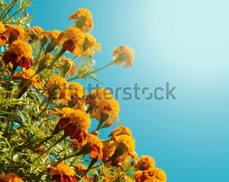 Orange french marogolds Stock photo © dutourdumonde