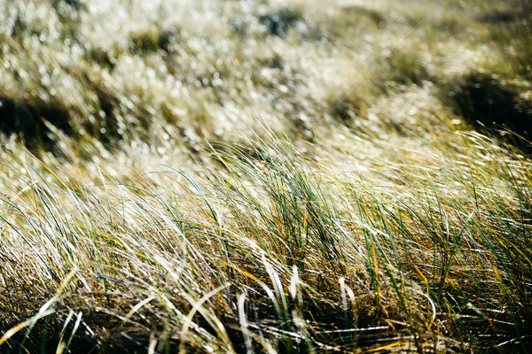 Closeup of backlit grass Stock photo © dutourdumonde