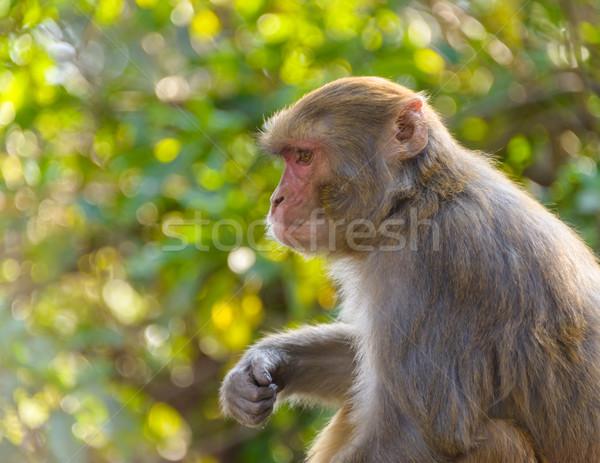 Macaque monkey Stock photo © dutourdumonde