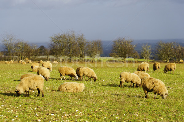 Sheeps in a field in winter Stock photo © dutourdumonde
