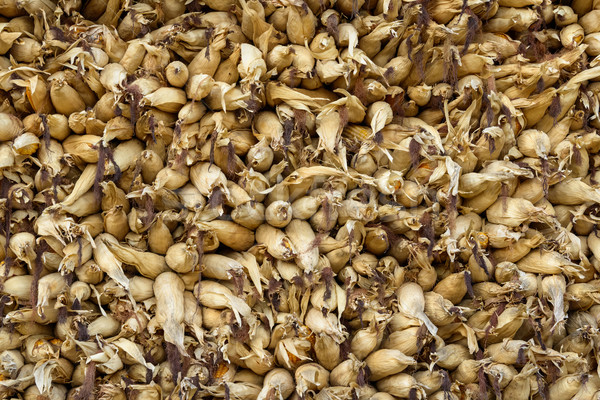 Maíz fondo agricultura sol cosecha Foto stock © dutourdumonde