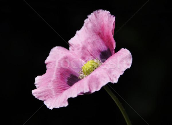 Rosa amapola negro naturaleza jardín fondo Foto stock © dutourdumonde