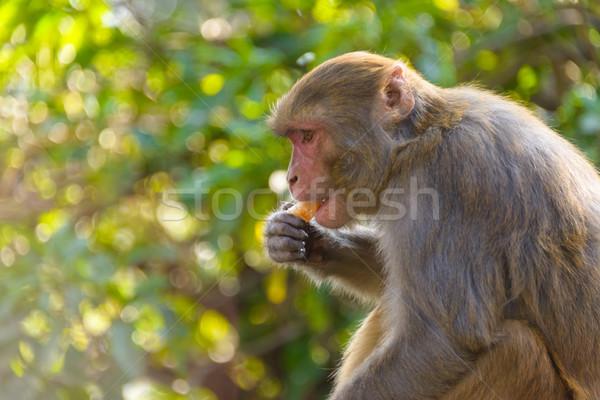 Сток-фото: еды · оранжевый · обезьяны · дерево · фрукты · джунгли
