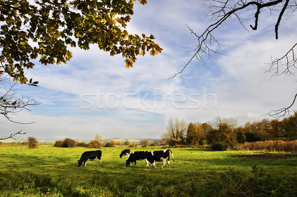 Cows in a meadow Stock photo © dutourdumonde