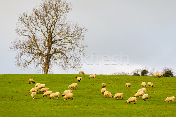 Sheep in a field in winter in the Cotswolds, UK Stock photo © dutourdumonde