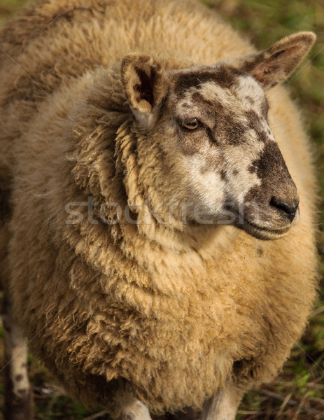 Sheep portrait Stock photo © dutourdumonde