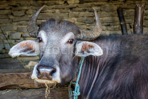 Buffalo in a barn Stock photo © dutourdumonde