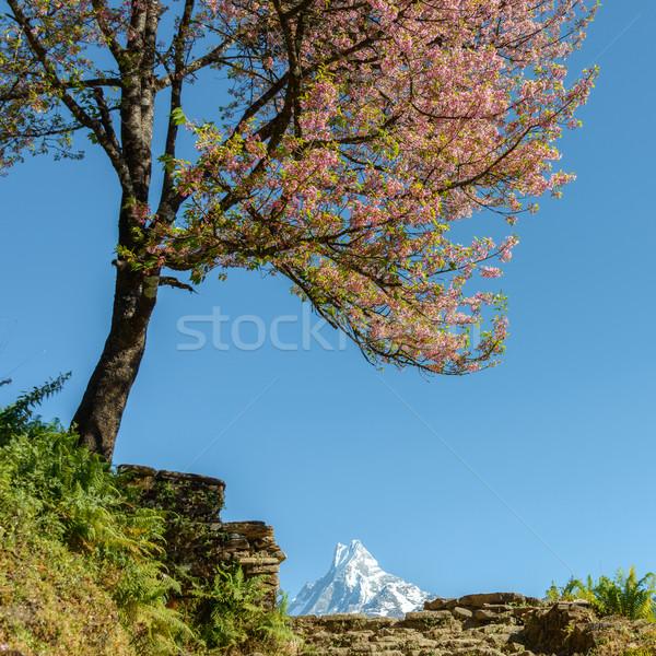 ツリー 咲く ネパール 花 青空 ピンク ストックフォト © dutourdumonde