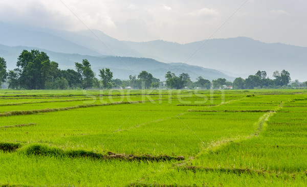 Rice paddy fields in Terai, Nepal Stock photo © dutourdumonde