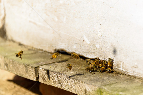 Bees coming in and out of their beehive Stock photo © dutourdumonde