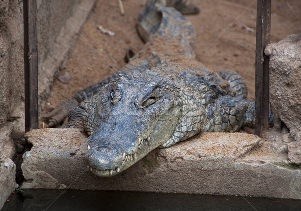 Stock photo: A crocodile