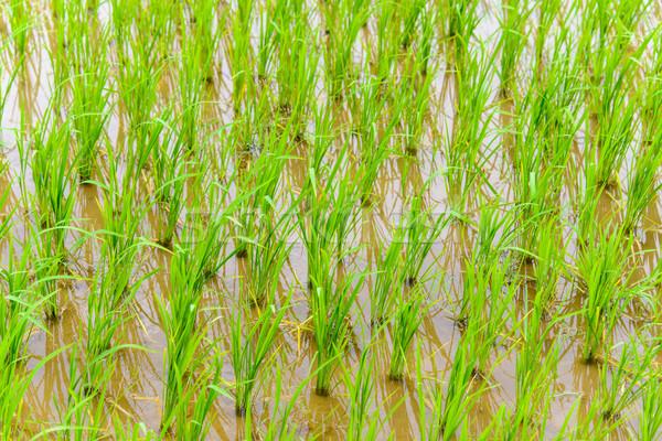 Young rice growing Stock photo © dutourdumonde