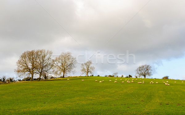 Sheep in a field in winter Stock photo © dutourdumonde