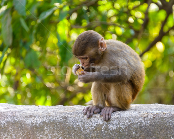 A baby macaque eating an orange Stock photo © dutourdumonde