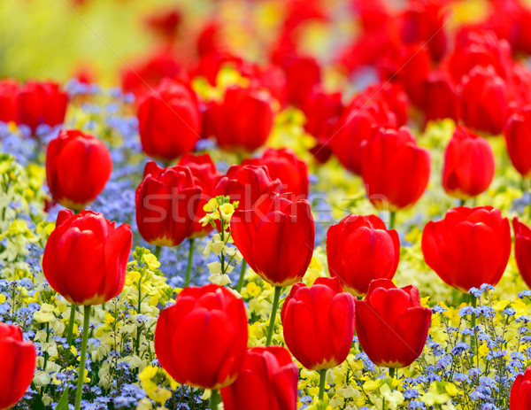 Red tulips Stock photo © dutourdumonde
