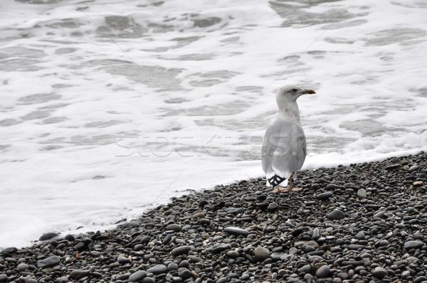 Seagull on the beach Stock photo © dvarg