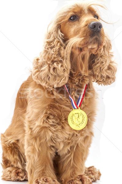 Vencedor inglês cão prêmio vitória Foto stock © dzejmsdin
