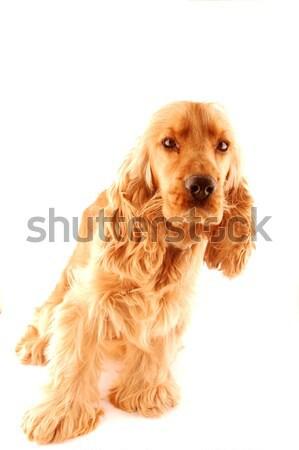 Sonriendo británico perro fondo negro blanco Foto stock © dzejmsdin