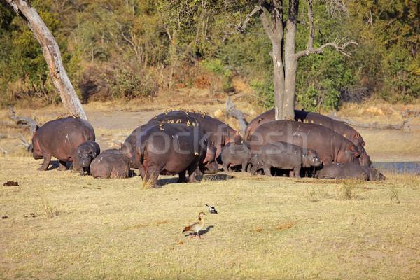 гиппопотам семьи бегемот птиц природы резерв Сток-фото © EcoPic