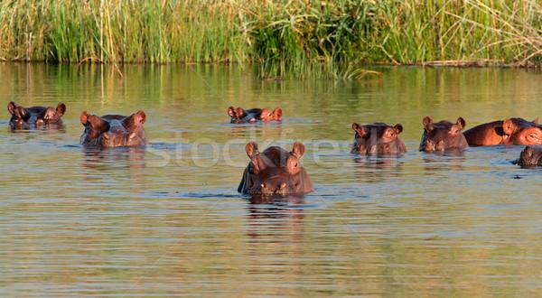 бегемот воды группа южный Африка рот Сток-фото © EcoPic
