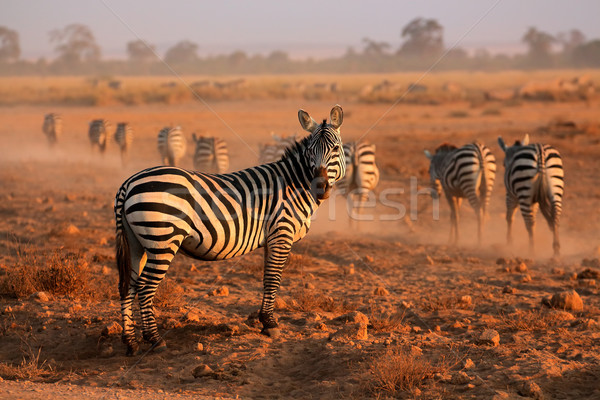 Plains Zebras Stock photo © EcoPic