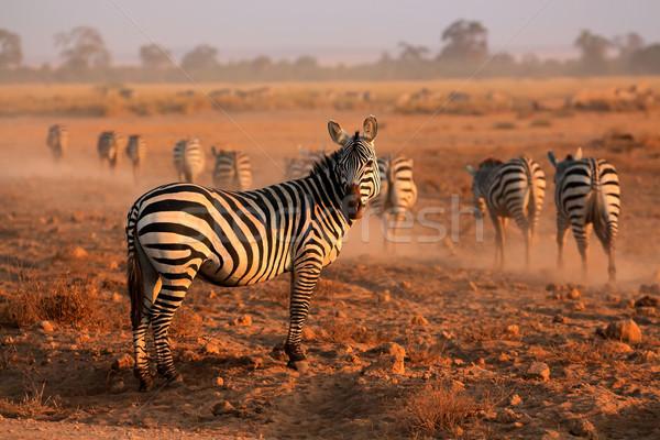 Zebras de manhã cedo poeira parque Quênia Foto stock © EcoPic
