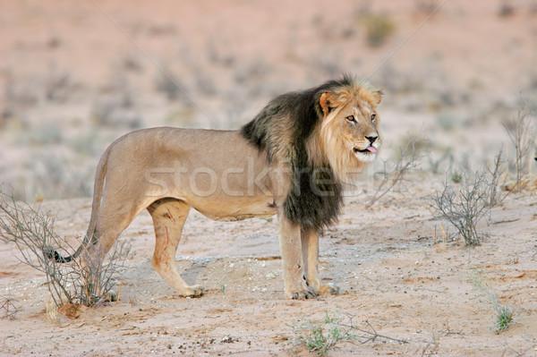 Black-maned lion Stock photo © EcoPic