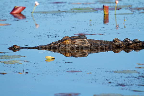 Saltwater crocodile Stock photo © EcoPic
