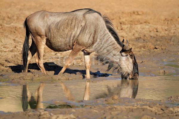 Wildebeest drinking water Stock photo © EcoPic