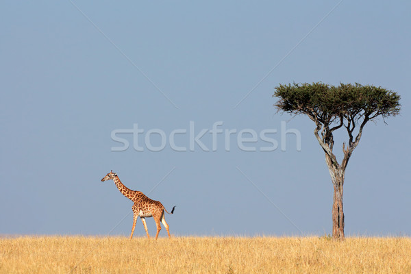 Masai giraffe and tree Stock photo © EcoPic
