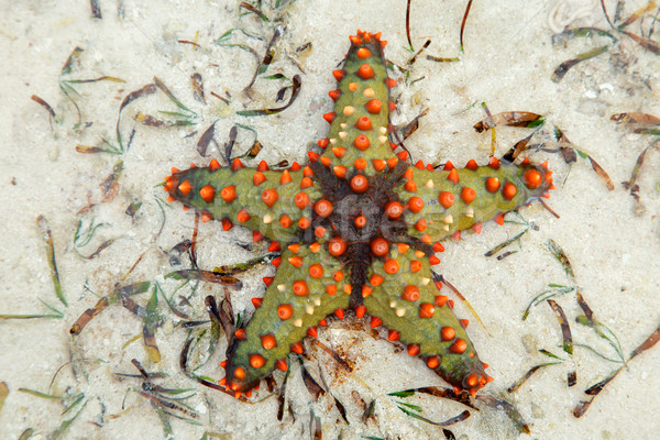 Colorful starfish Stock photo © EcoPic
