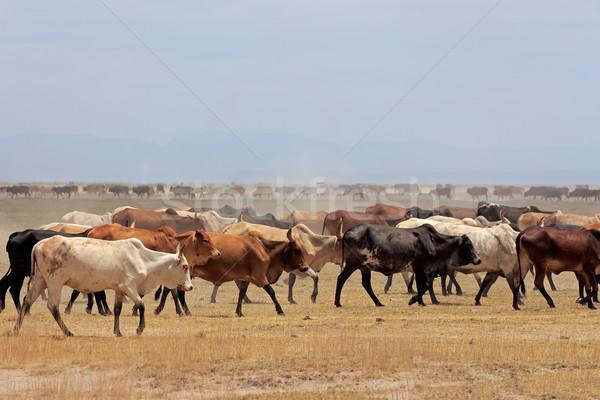 Vee kudde stoffig Kenia boerderij Stockfoto © EcoPic