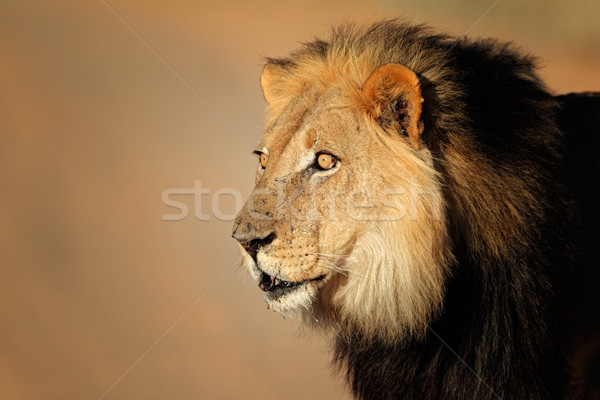 Stock photo: African lion portrait