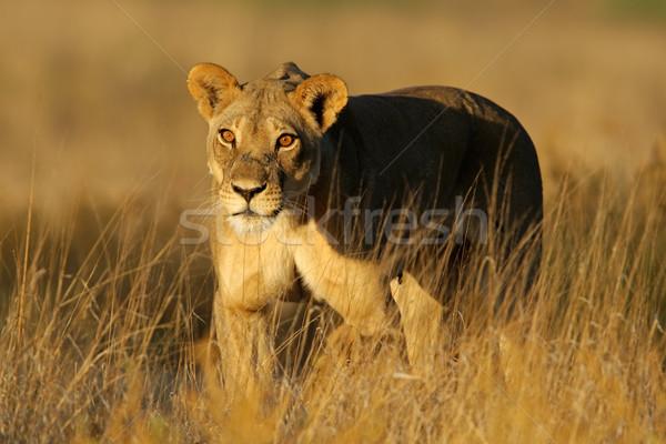 Sétál kora reggel fény sivatag Dél-Afrika arc Stock fotó © EcoPic