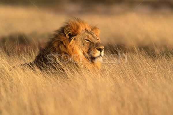 Foto stock: Grande · masculino · africano · leão · grama · parque