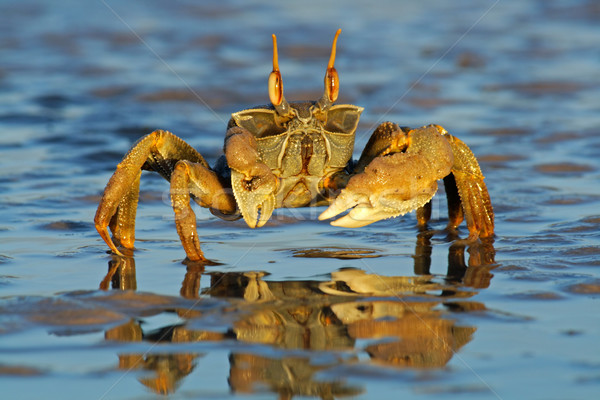Ghost crab Stock photo © EcoPic