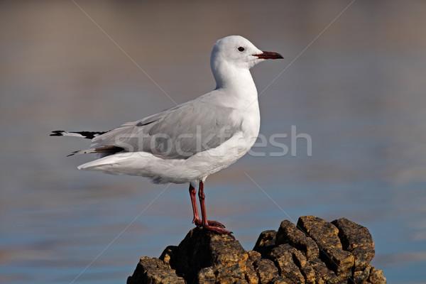 Hartlaubs gull Stock photo © EcoPic