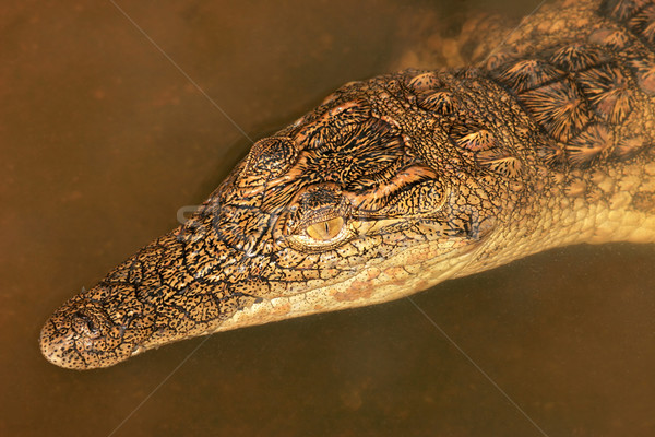 Nile crocodile Stock photo © EcoPic