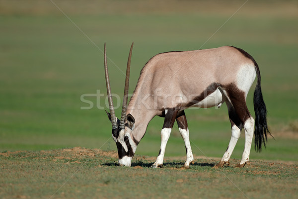 Stock photo: Gemsbok antelope