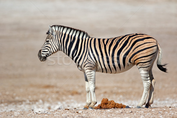 Plains zebra - Etosha National Park Stock photo © EcoPic