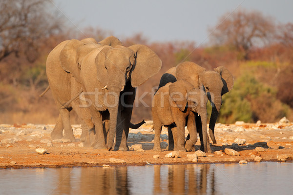 Elephants at waterhole Stock photo © EcoPic
