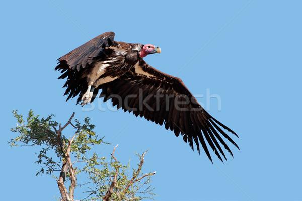 гриф полет ЮАР птица синий черный Сток-фото © EcoPic