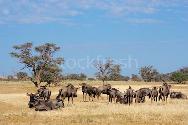 Blue wildebeest herd Stock photo © EcoPic