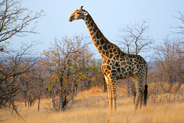 Giraffe in natural habitat Stock photo © EcoPic