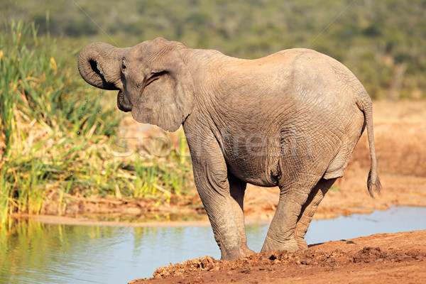 Elephant at waterhole Stock photo © EcoPic