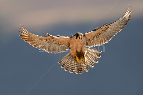 Lanner falcon landing Stock photo © EcoPic