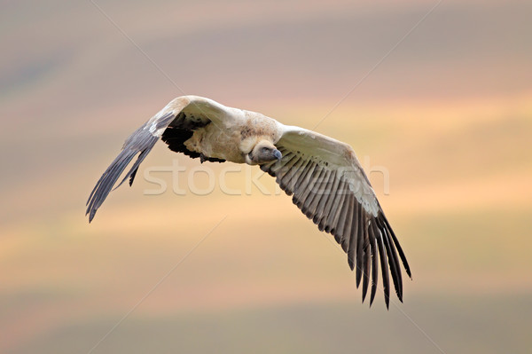 Cape vulture in flight Stock photo © EcoPic