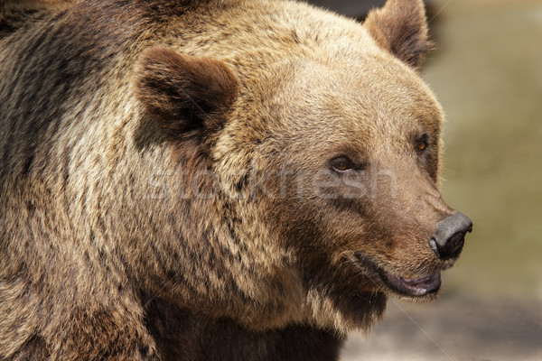 Grizzly bear Stock photo © EcoPic