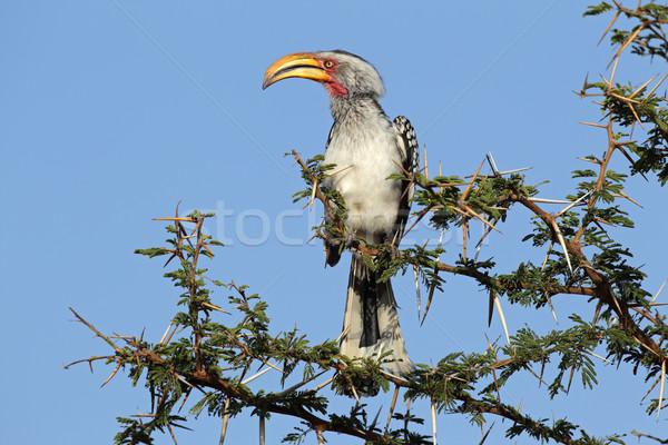 Yellow-billed hornbill Stock photo © EcoPic