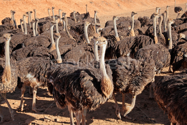 Ostriches Stock photo © EcoPic